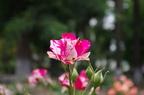 Мраморная роза
