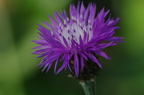 Фиолетовый цветочек